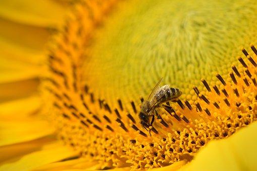 Sun Flower, Yellow, Bee, Blossom, Bloom, Flower, Sunny