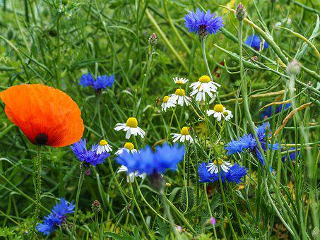 Poppy, Balm, Cornflower, Grass, Red, Blue, Green