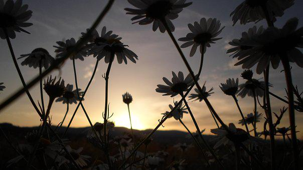 Flower, Sunset, Daisy, Nature, Plant, In The Evening