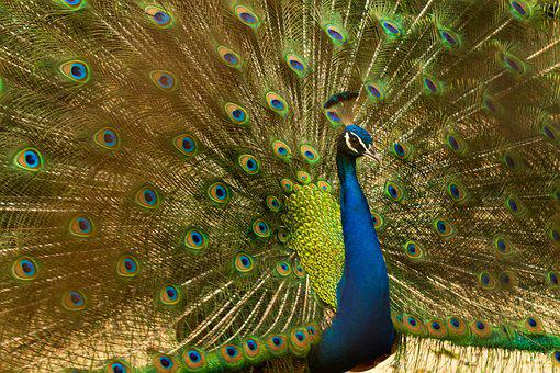 Peacock, Bird, Nature, Animal, Feather, Pattern, Blue