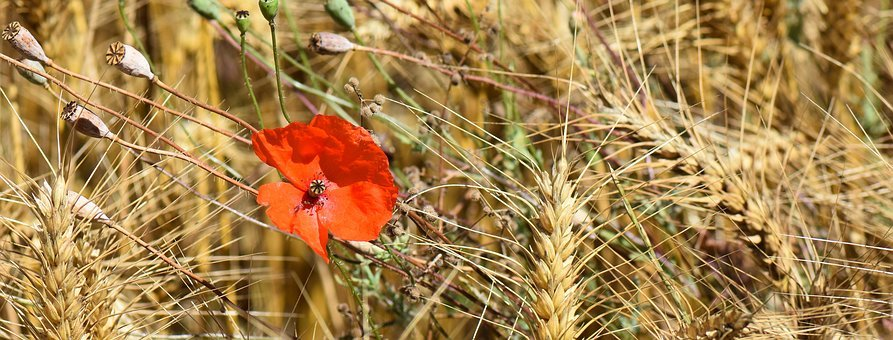 Nature, Poppy, Flower, Red, Red Flower, Bloom