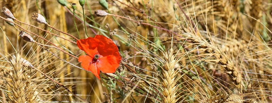 Nature, Poppy, Flower, Red, Red Flower, Bloom