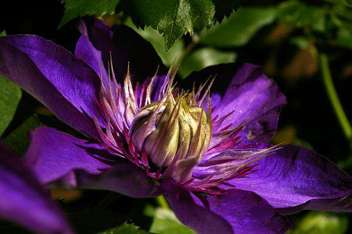 Clematis, Blossom, Bloom, Close, Violet, Flower, Bloom