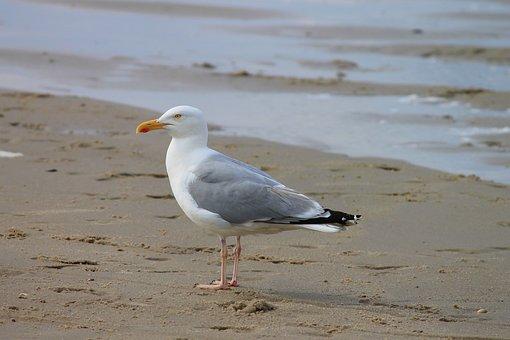 Herring Gull, Seagull, Seevogel, Larus Argentatus