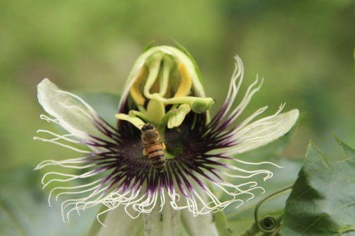 Flower Of Passion Fruit, Bee, Nature, Pollination