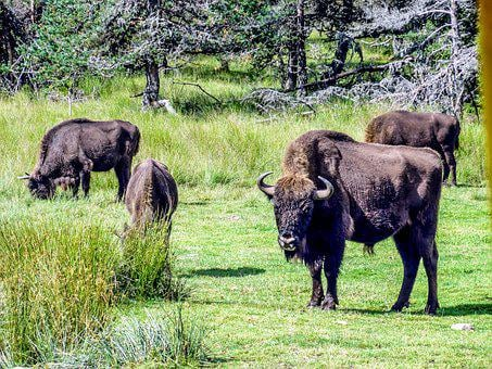 Bison, Taurau, Force, Nature, Wild, Forest, Haute Loire