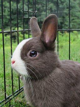 Bunny, Rabbit, Netherlands Dwarf, Cute, Adorable