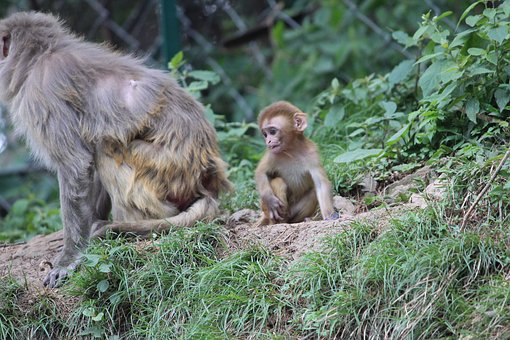Baby Monkey, Angry Mother, Simian