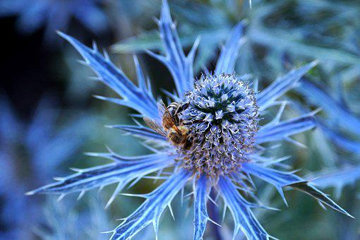 Thistle, Blue Thistle, Bee, Blue, Violet, Insect