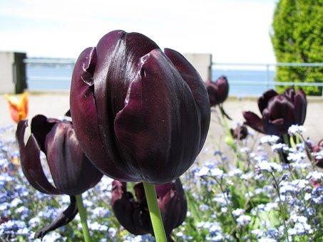 British Columbia, Vancouver, Tulip, Flower, Cityscape