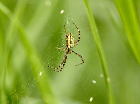 Spider, Wasp, Yellow, Strips, Cobweb, Macro, Insect