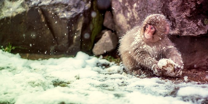 Japan, Monkey, Snow, Cute, Wildlife, Winter, Landscape