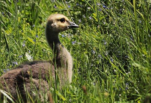 Goose, Young Goose, Young Bird, Aquatic Animal