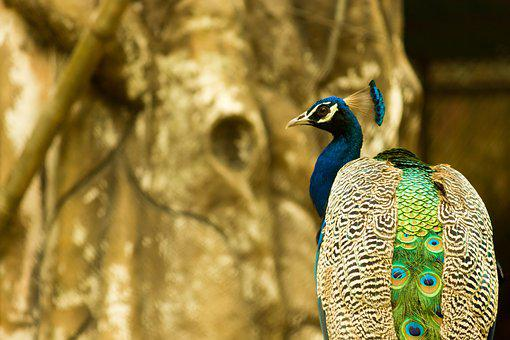 Peacock, Zoo, Bird, Animal, Wildlife, Nature, Feather