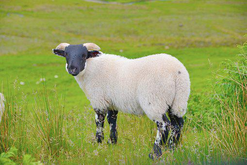 Scotland, Sheep, Animal, Lamb