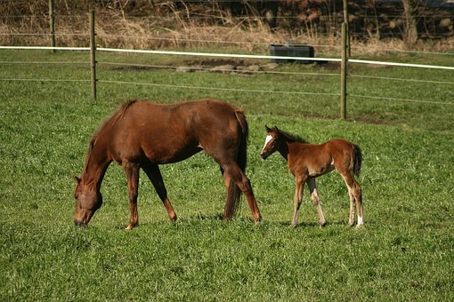 Horse, Foal, Colt, Filly, Animal