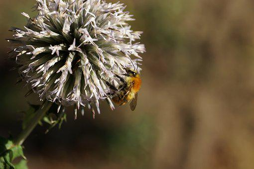 Bee, Flower, Macro, Honey Bee, Nectar