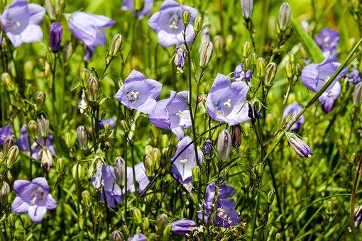 Bluebells, Flowers, Bloom, Purple, Petite Bellflower
