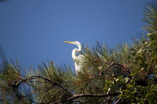 Great White Egret, Bird, Wildlife, Large, Tree, Sky