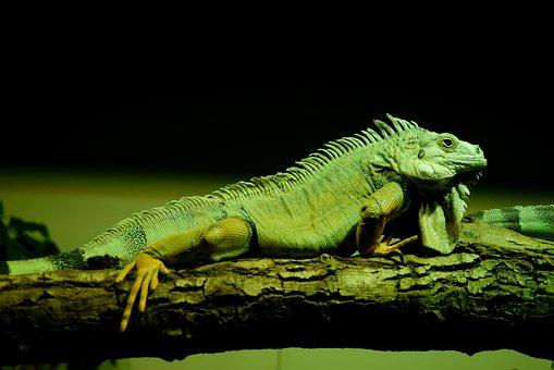 Green, Iguana, Reptile, Animal, Wild, Lizard, Wildlife