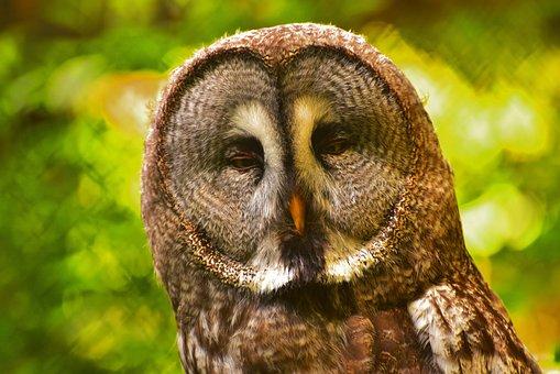 Owl, Eyes, Bird, Feather, Plumage, Animal, Night Active