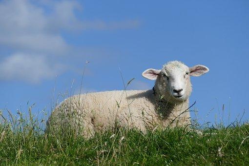 Sheep, Summer, Dike, Schäfchen, Lamb, Grass, Animal