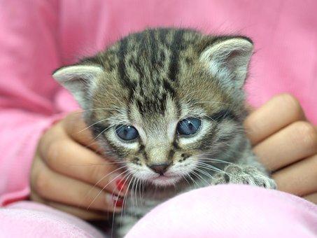 Puppy, Kitten, Look, Pet, Tenderness, Domestic Cat