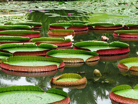 Water, Lotus Leaf, Lilly, Lilly Leaf, Lotus
