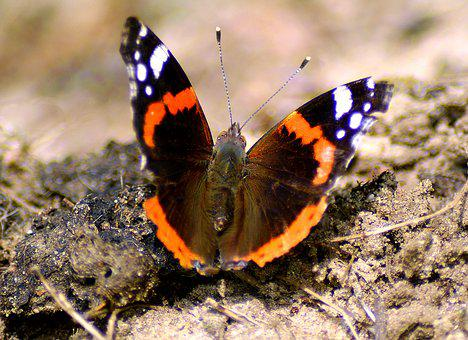 Admiral, Butterfly, Wing, Public Record, Summer, Noble