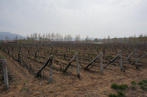 Yantai, Wine, Base