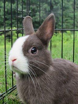 Rabbit, Bunny, Netherlands Dwarf, Cute, Adorable