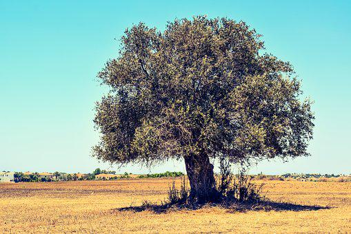 Olive Tree, Field, Agriculture, Landscape