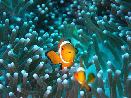 Clownfish, Diving, Anemone