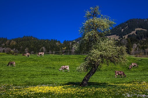 Allgäu, Reported, Allgäu Alps, Cows, Pasture, Animal