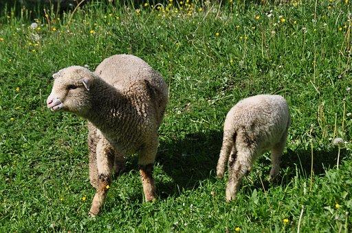 Sheep, Countryside, Grass
