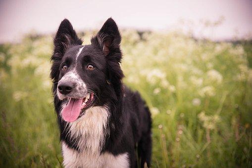 Dog, Summer, Border Collie, Collie, Sheepdog, Shepherd