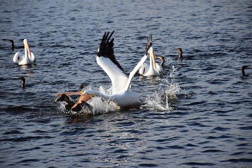 Pelican, Fishing, Action, Dramatic, Attack, Splash