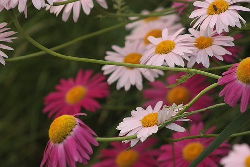 Painted Daisies, Garden, Plant, Flower