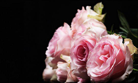 Roses, Noble Roses, Pink, Pink Roses, Flowers, Flora