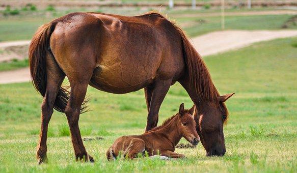 Horse, Mare, Foal, Nature, Mammal, Equine, Animal