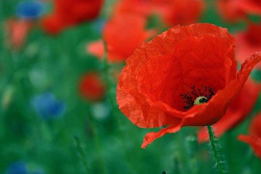 Poppy, Red, Flower, Summer, Color, Klatschmohn, Nature