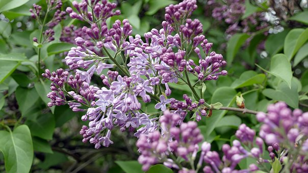Lilac, Flowers, Lilac Flower, Floristry, Colorful