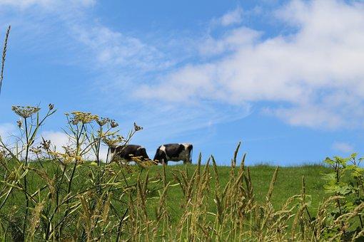 Meadow, England, Summer, Cows, Cattle, Nature, Grass