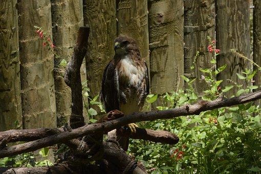 Red Tailed Hawk, Bird, Hawk, Nature, Raptor, Red