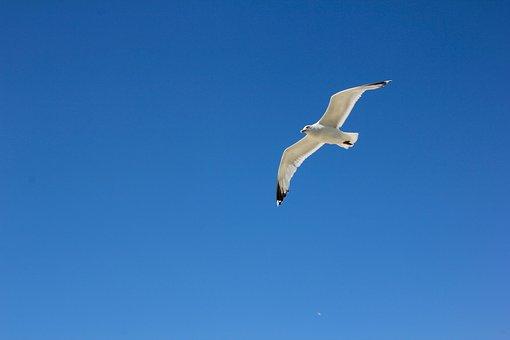 Borkum, Seagull In Flight, Sky, Bird, Fly, North Sea