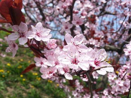 Blossom, Bloom, Spring, Full Bloom, Spring Blossoms