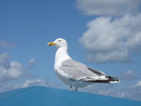 Borkum, Sky, Clouds, Gull, Sea, Roof, Bill, White Gulls