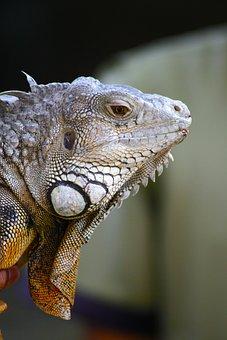 Iguana, Animal, Lizard, Indonesia, Bali, Nature