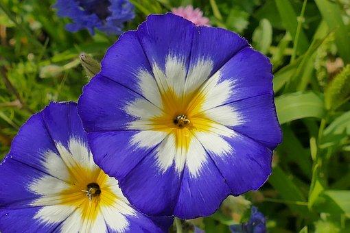 Macro, Flower, Blossom, Bloom, Close, Plant, Blue