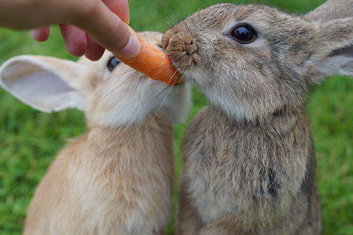 Rabbit, Eat, Carrot, Cute, Bunny, Munchkins, Summer